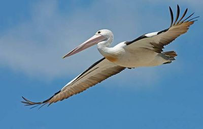 pelican_australian.jpg