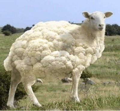 this-sheep-looks-like-a-big-fruit-of-cauliflower-43630640 (2).jpg