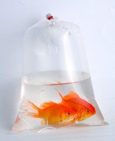 goldfishinbagdreamstime_9145661