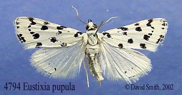 4794-eustixia-pupula.jpg